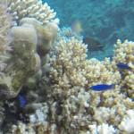 Arabische Putzerlippfische larabicus quadrilineata Rotes Meer Red Sea Aegypten Egypt