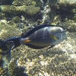 Arabischer Doktorfisch bzw. Sohaldoktorfisch - acanthurus sohal