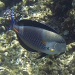 Arabischer Doktorfisch bzw. Sohaldoktorfisch acanthurus sohal Rotes Meer Red Sea Aegypten Egypt