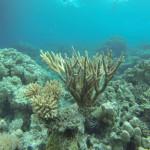 Astkoralle Rotes Meer