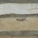 Europaeischer Halbfinger Gecko Hemidactylus turcicus Aegypten