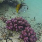 Faehnchenfalterfisch chaetodon auriga Red Sea Rotes Meer