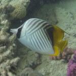 Faehnchenfalterfisch chaetodon auriga Rotes Meer Red Sea Aegypten Egypt