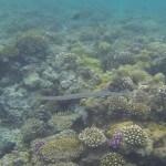 Floetenfisch fistularia commersonii