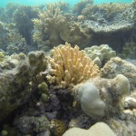 Griffelkoralle Rotes Meer Red Sea Aegypten Egypt Hurghada
