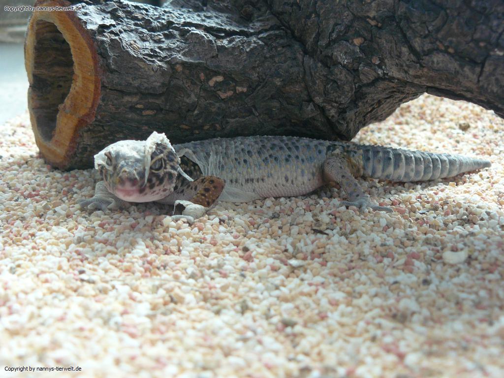 Hauutung Leopardgecko hauutet sich