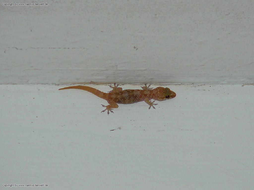 hemidactylus turcicus europaeischer halbfinger tuerkischer halbfingergecko tuerkei side nannys. Black Bedroom Furniture Sets. Home Design Ideas