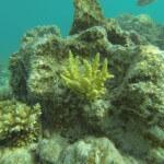 Hirschhorn Koralle
