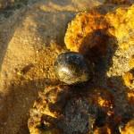 Kleine Schnecke Rotes Meer