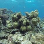 Koralle Rotes Meer