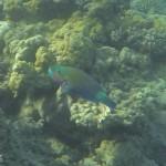 Kugelkopf-Papageifisch clorurus sordidus Rotes Meer Red Sea Aegypten Egypt