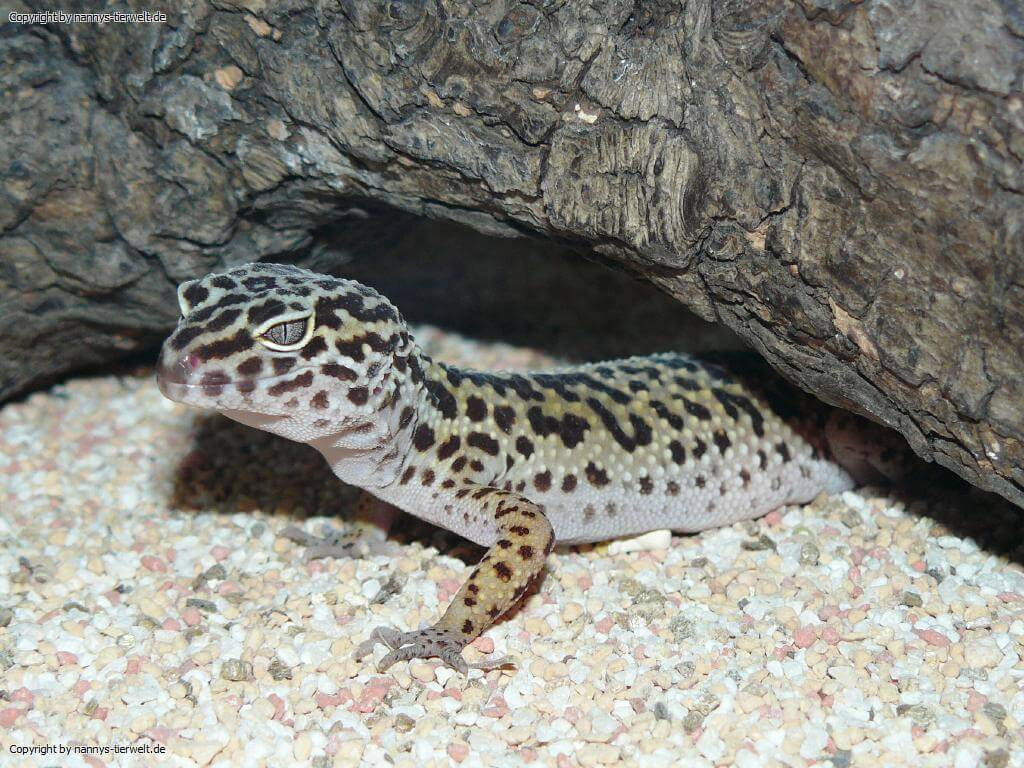 Leopardgecko Cherrie
