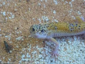 Leopardgecko schielt und grinst