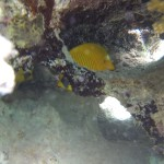 Maskenfalterfisch chaetodon semilarvatus