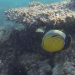 Persischer Falterfisch chaetodon auriga