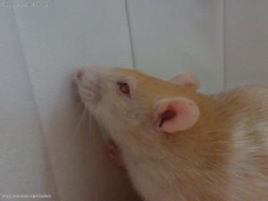 Ratte Emma 05