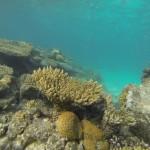 Rotes Meer Koralle