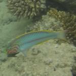 Rueppells Junker bzw. Rotmeer Junker - thaelassoma rueppellii Rotes Meer Red Sea Aegypten Egypt