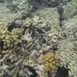 Schuppige Riesenmuschel tridacna maxima