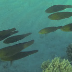 Schwarm Papageifische Rotes Meer Red Sea Aegypten Egypt Hurghada
