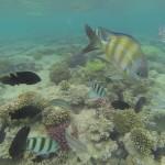 Schwarm Sergeantfische