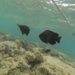 Schwarze Riffbarsche im Roten Meer vor Hurghada Aegypten