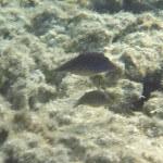 Spitzkopfkugelfische