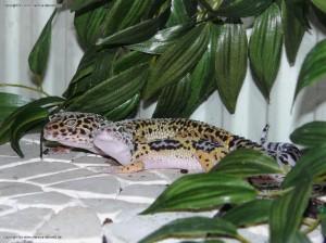 Zusammenhaltung von jungen und erwachsenen Leopardgeckos