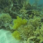 huebsche gelbe Koralle Rotes Meer Red Sea Aegypten Egypt Hurghada in der Naehe von Giftun Island