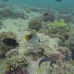 im Uhrzeigersinn Faehnchenfalterfisch Rotmeerjunker Vogelfisch und Schwarzer Riffbarsch