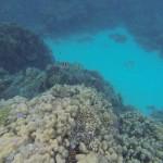 verschiedene Korallen und Scherenschwanz Sergeant Fisch