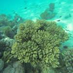 wunderschoene Koralle mit Chromis Fischen Rotes Meer Red Sea Aegypten Egypt Hurghada